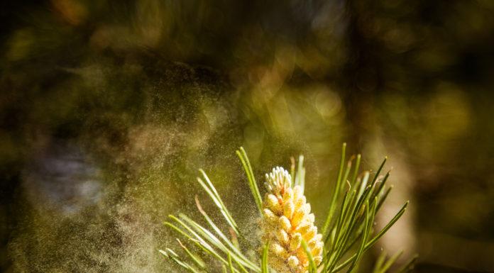 pine pollen